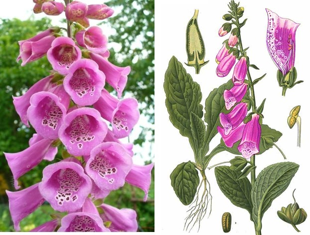 digitalis-otrava-digitalisem-priznaky-projevy-symptomy